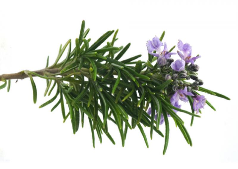 Rosemary Pure Aromatherapy Essential Oil - 10Ml